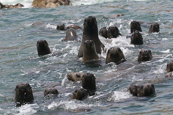 Swimming with sea lions in Peru with Nature Expeditions (4)