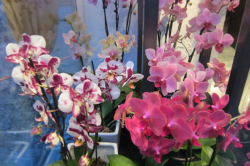 Phalaenopsis by Anna Amnell