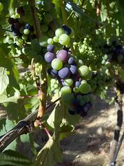 Pinot Noir beginning veraison