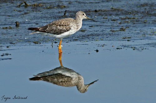 YELLOWlegs :)