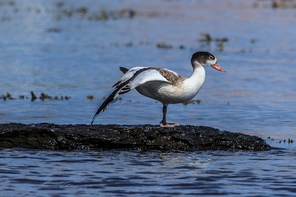 Birds of Bornholm:  Common Shelduck