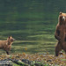 Brown Bear sow stands while cub watches 1CGS5390 by WildImages