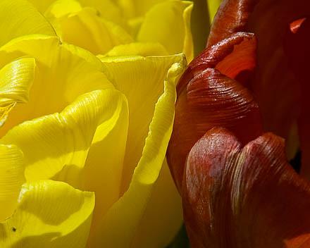 summer-2006 04 19 tulips_00106