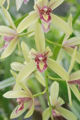 Cymbidium Liliput