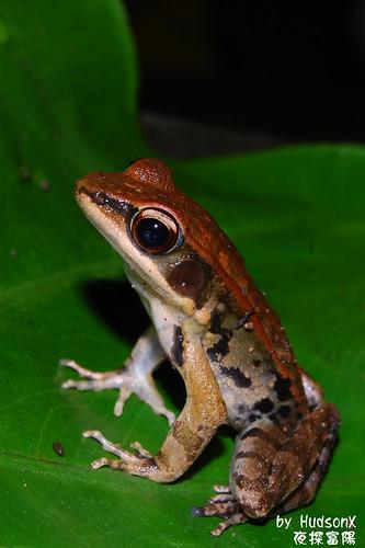 拉都希氏赤蛙(6)