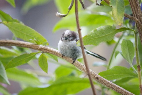 Sleepy tit