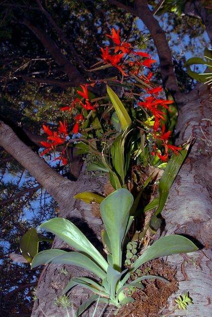 Begonia boliviensis growing Epiphytically