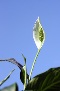 """Peace Lily """"spathiphyllum"""""""