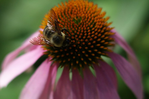 Bee on Rudbeckia