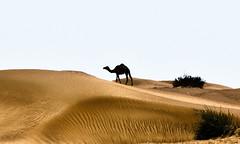 prairie(0.0), steppe(0.0), plain(0.0), grassland(0.0), erg(1.0), soil(1.0), sand(1.0), aeolian landform(1.0), natural environment(1.0), desert(1.0), dune(1.0), landscape(1.0), camel(1.0), arabian camel(1.0),