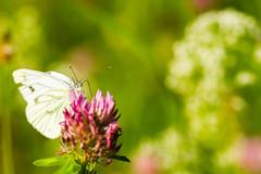 Green-veined White (Pieris napi) on Trifolium pratense