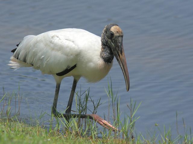 Wood Stork 2-20120725