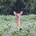 Deer in Bean Field