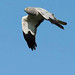 Hen Harrier (Paul Marshall)