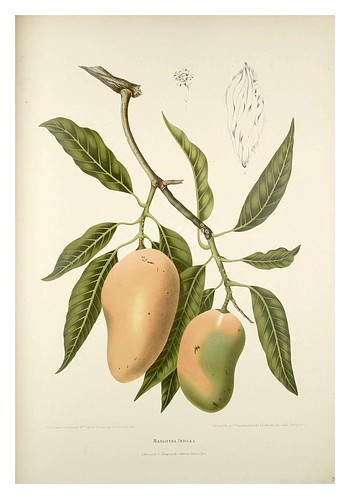 018-Fruto del mango-Fleurs, fruits et feuillages choisis de l'ille de Java-1880- Berthe Hoola van Nooten