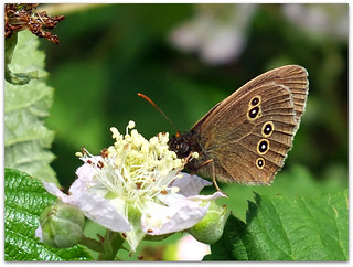 Ringlet butterfly on brambles!