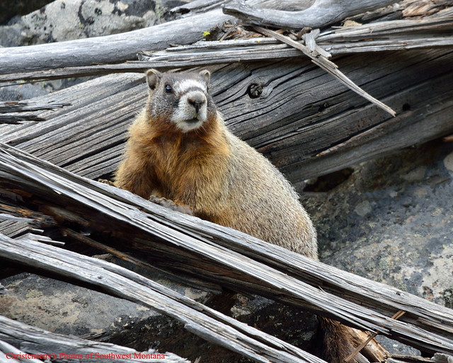 The yellow-bellied marmot (Marmota flaviventris), also known as the rock chuck, is a large, stout-bodied ground squirrel in the marmot genus. It is one of fourteen species of marmots, and is native to mountainous regions of southwestern Canada and western United States, including the Rocky Mountains, Sierra Nevada, and Mount Rainier in the state of Washington, typically living above .