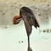 Reddish Egret/Egretta rufescens by devilspotato