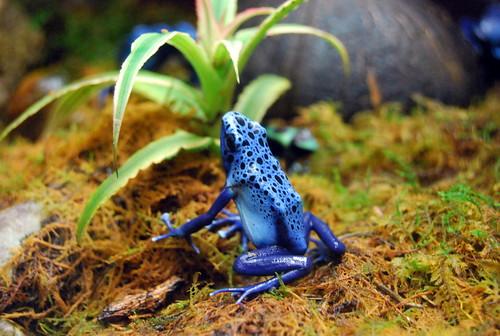 WPIR - Dyeing Poison Frog-001