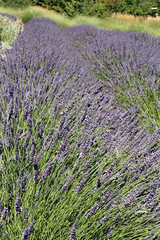 Lavender at Matanzas Creek
