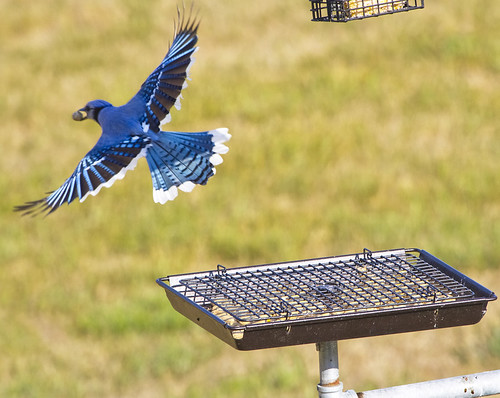 Blue Jay At the Backyard Feed by Ricky L. Jones Photography