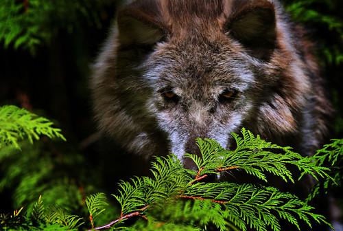 Grey Wolf 3 by doublejwebers