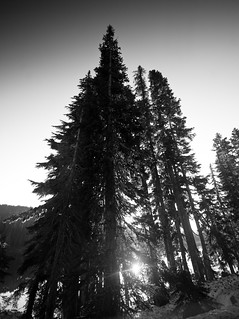 Sunlight through Conifers (B&W)