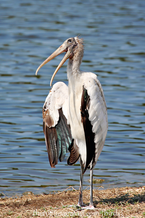 072312_03_bird_woodStork03