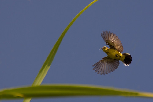 Sunbird in flight