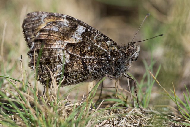 grayling butterfly close up hatchet pond 3