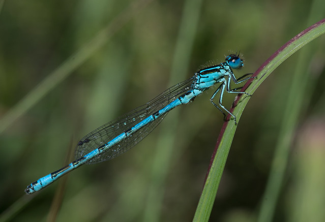 Southern blue damselfly Coenagrion mercuriale 5