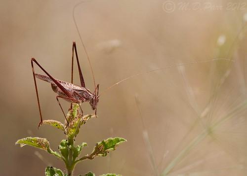 Lily bush cricket (Tylopsis lilifolia) by M.D.Parr