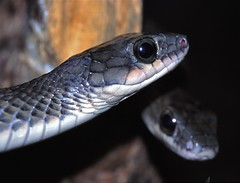Chinese Rat-snakes (Ptyas korros)