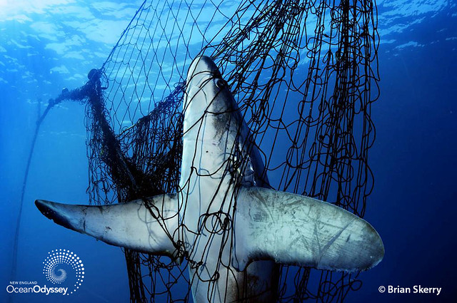 Bigeye Thresher Shark Caught in Net. Copyright Brian Skerry.
