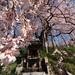 震災後の福島にて、一本の桜
