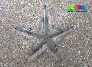 Painted sand star (Astropecten sp.)