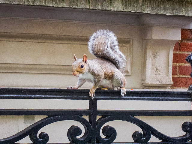 Cheeky Malet Street Squirrel