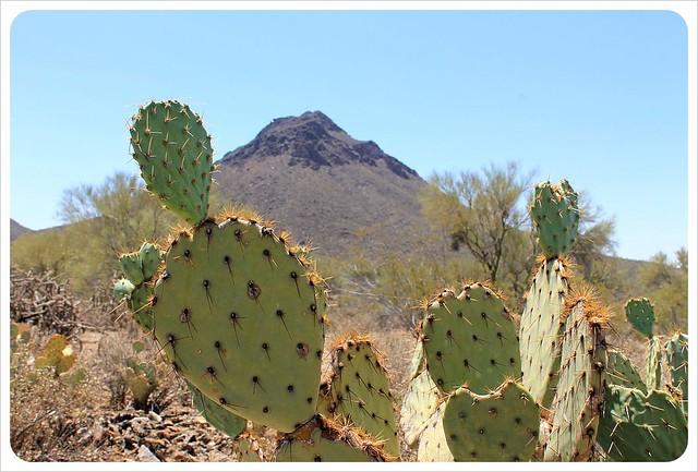 cactus in southern arizona