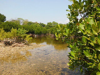 Just thing 'bout Mangrove  (37)