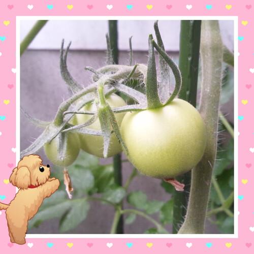 サントリー 本気野菜トマト ボンリッシュの実