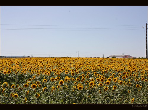Field of sunflowers in Beja - Portugal