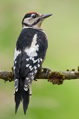 Juvenile Great Spotted Woodpecker by Rob Christiaans 