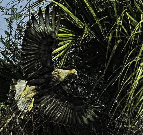 Caracara - In Flight