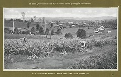 Pineapple pickers at Woombye, ca. 1915