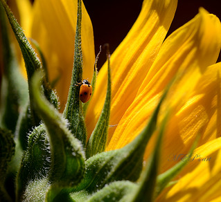 Ladybug and her Sun [EXPLORE, July, 8, 2012]