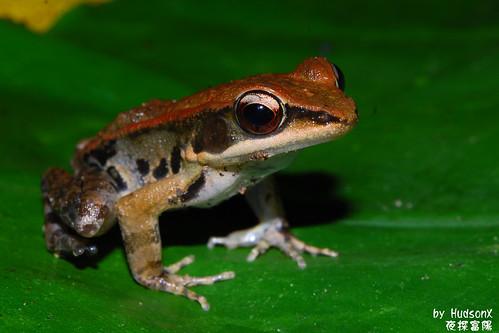 拉都希氏赤蛙(3)