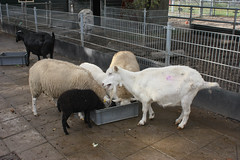 animal, sheeps, sheep, mammal, goats, domestic goat, fauna, herding,