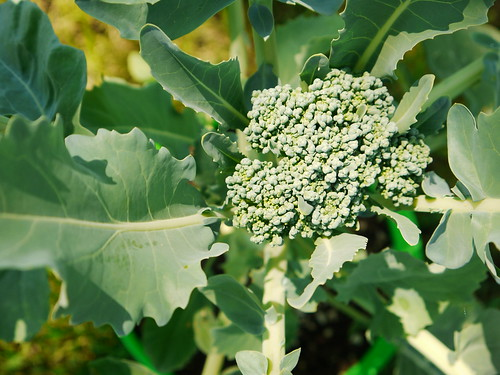 Broccoli from a seed!!