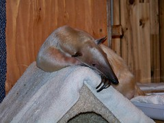 Day dreaming tamandua