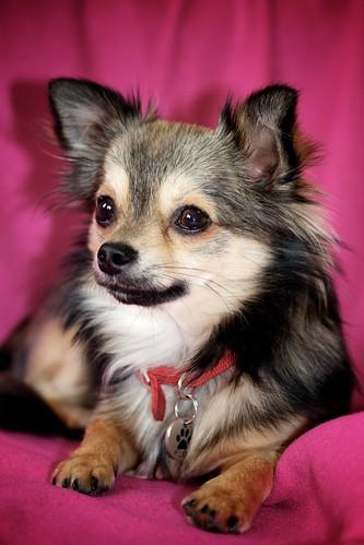 無料写真素材, 動物 , 犬・イヌ, チワワ